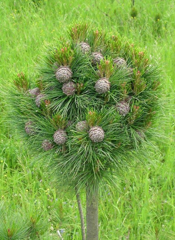 Кедровая сосна сибирская выращивание 7