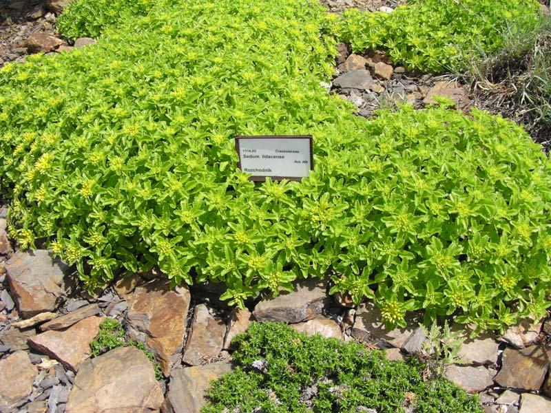 Седум рубенса лизард выращивание 72