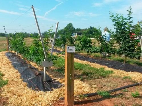 Выращивание малины на шпалерах - изготавливаем своими руками