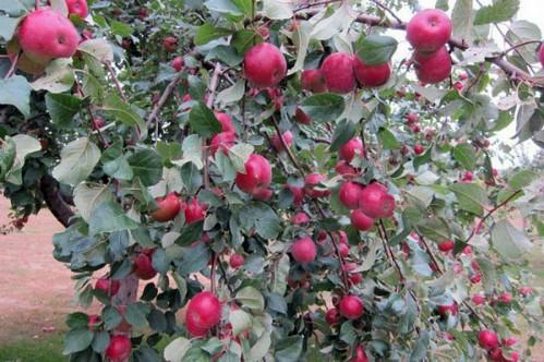 Яблоня Антей - вкуснейший зимний сорт